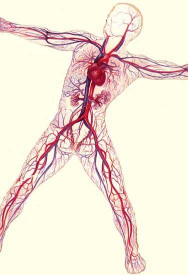 circulatory211.jpg