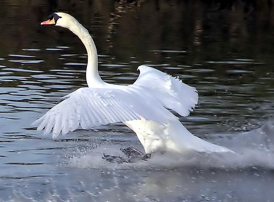 Mute.swan.touchdown.arp.jpg