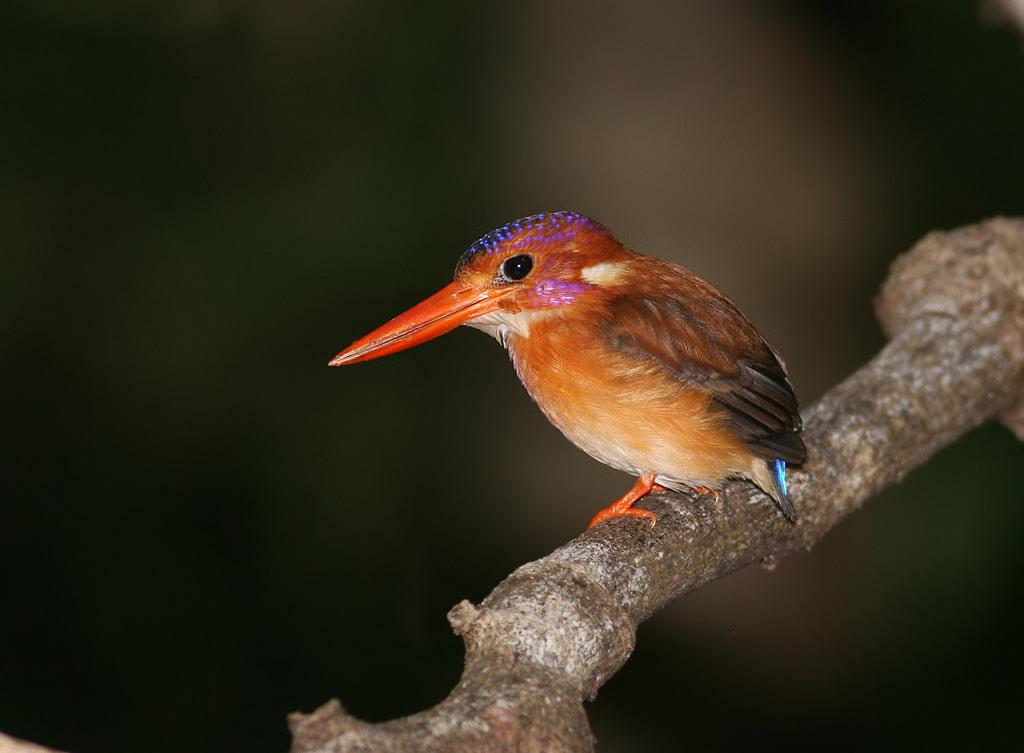 Sulawesi_Dwarf_Kingfisher_118283041.SJJk4Dll.IMG_3195sm_filtered.jpg