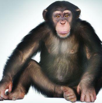 8829_chimp.jpg